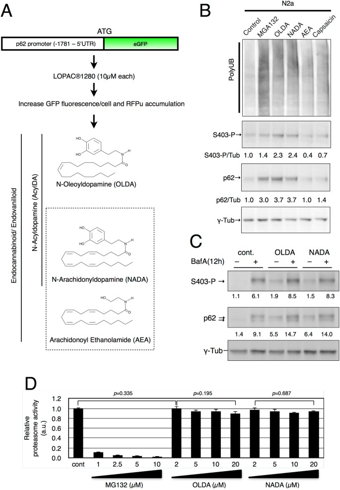 N Acyldopamine Induces Aggresome Formation Without Proteasome Inhibition And Enhances Protein Aggregation Via P62 Sqstm1 Expression Scientific Reports