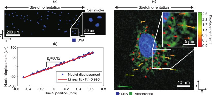An ultra-fast mechanically active cell culture substrate