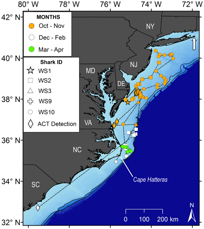 First insights into the movements of young-of-the-year white sharks