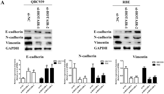 Long non-coding RNA HOTAIR promotes tumorigenesis and