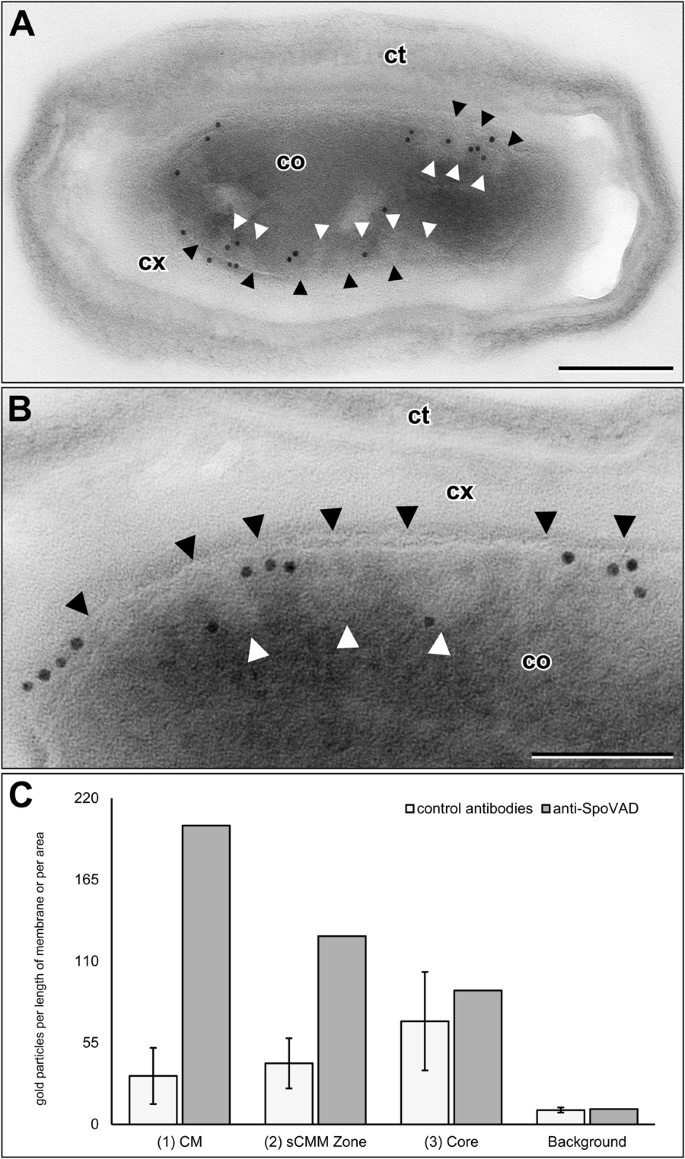 Intracellular membranes of bacterial endospores are reservoirs for