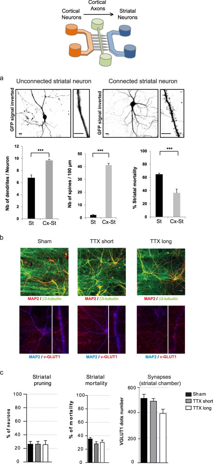 Dysregulated Neurotransmission induces Trans-synaptic degeneration