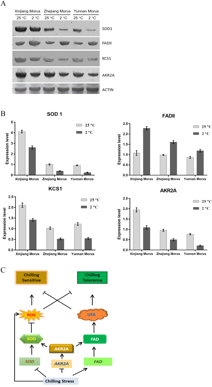 The molecular chaperon AKR2A increases the mulberry chilling