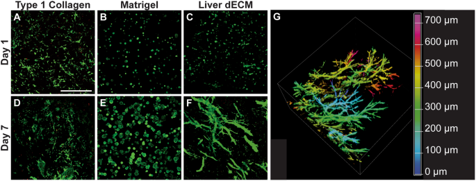 Complex bile duct network formation within liver decellularized