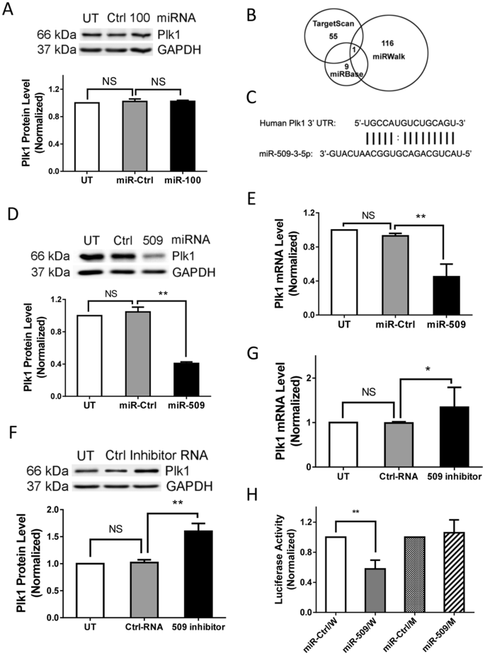MicroRNA miR-509 Regulates ERK1/2, the Vimentin Network, and