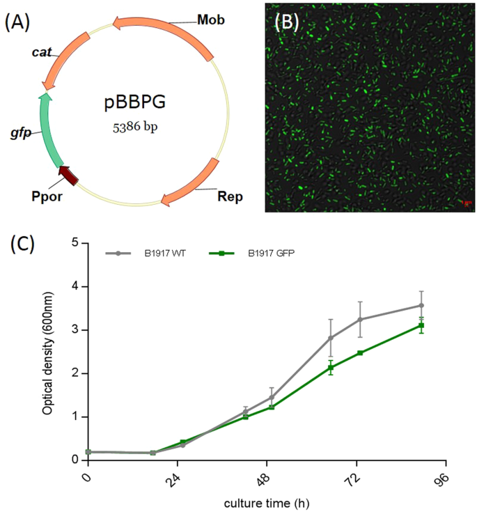 characteristics of the b  pertussis b1917-gfp-expressing strain  (a)  plasmid map of the gfp vector, pbbpg, used for transformation