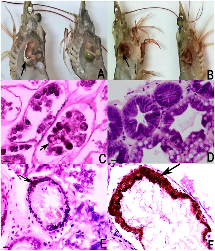 PirVP genes causing AHPND identified in a new Vibrio species