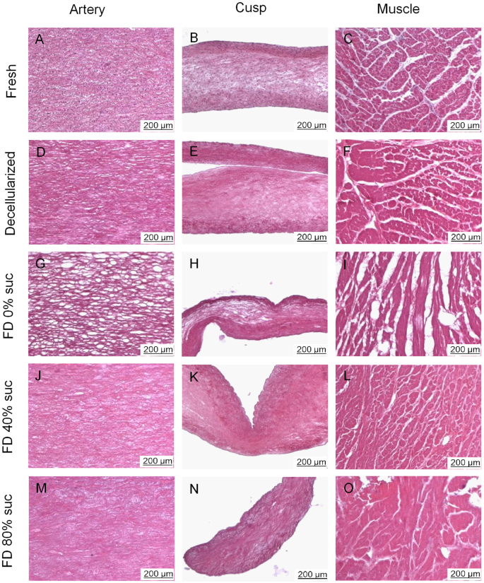 Use Of Sucrose To Diminish Pore Formation In Freeze Dried Heart