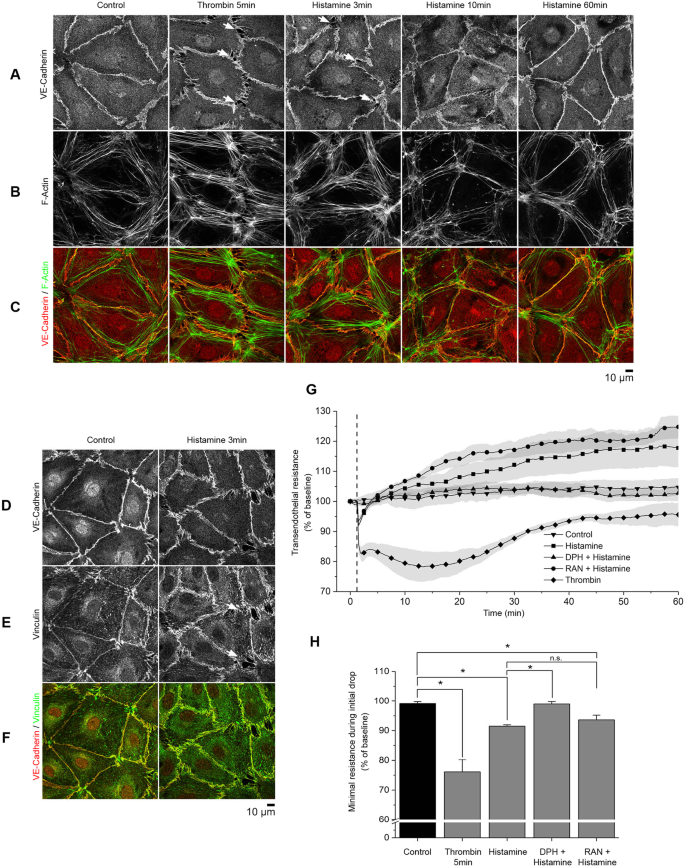 Histamine causes endothelial barrier disruption via Ca 2+ -mediated