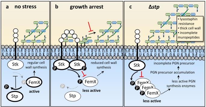 The serine/threonine kinase Stk and the phosphatase Stp