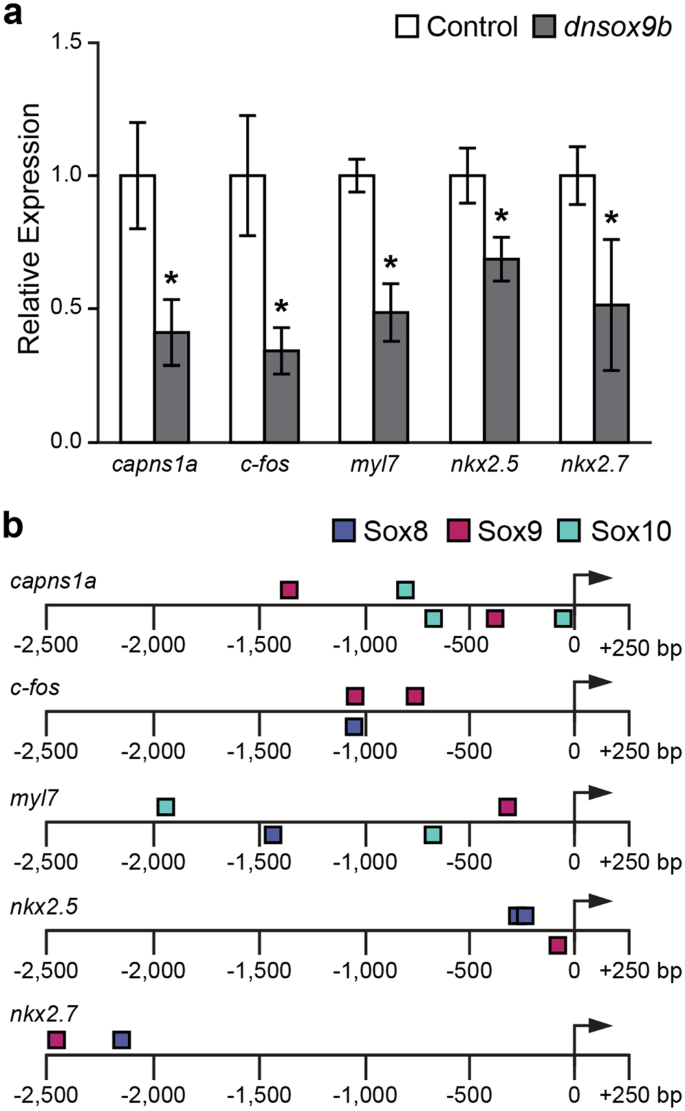 sox9b is required in cardiomyocytes for cardiac