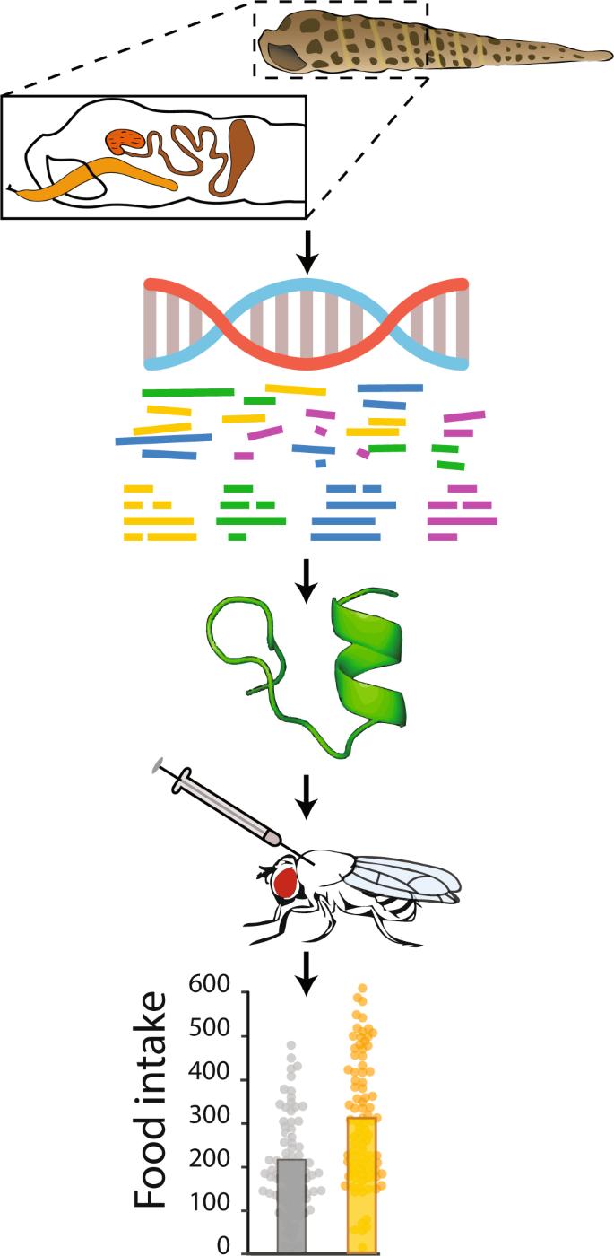 Using Drosophila behavioral assays to characterize terebrid