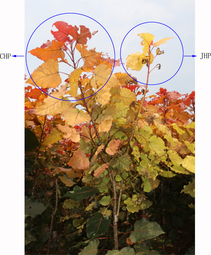 Identification of candidate genes for leaf scorch in Populus