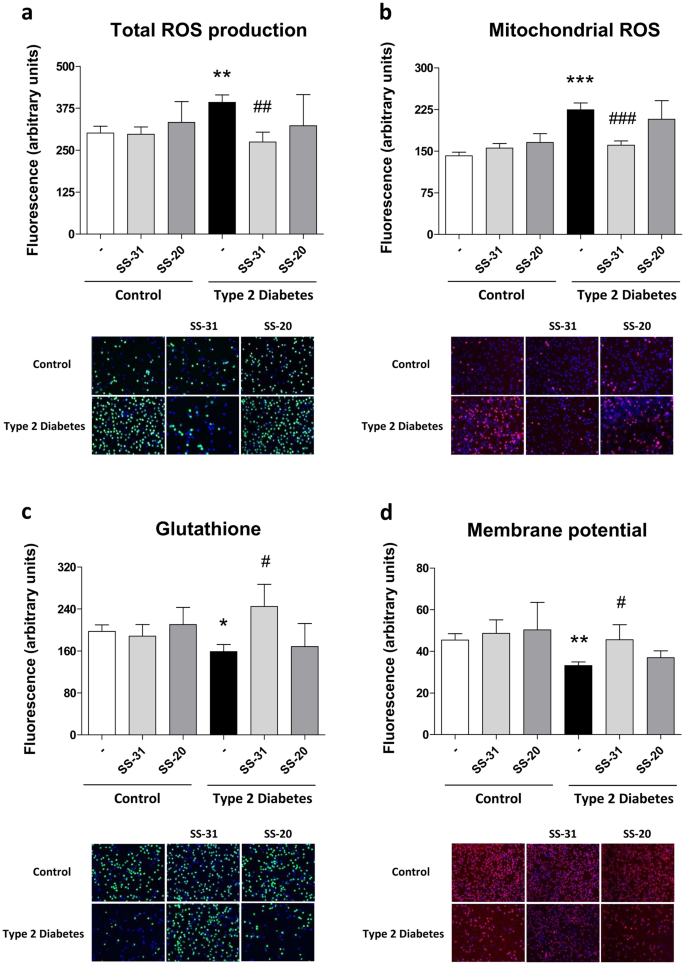 The mitochondrial antioxidant SS-31 increases SIRT1 levels and