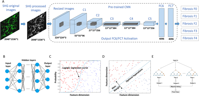 Deep learning enables automated scoring of liver fibrosis