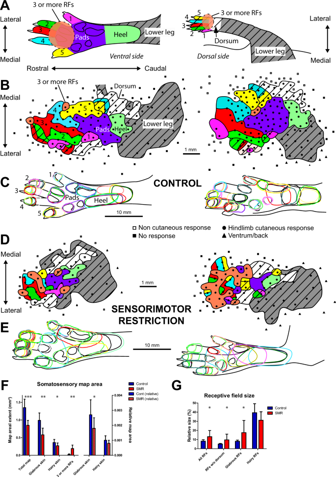 Early movement restriction leads to maladaptive plasticity