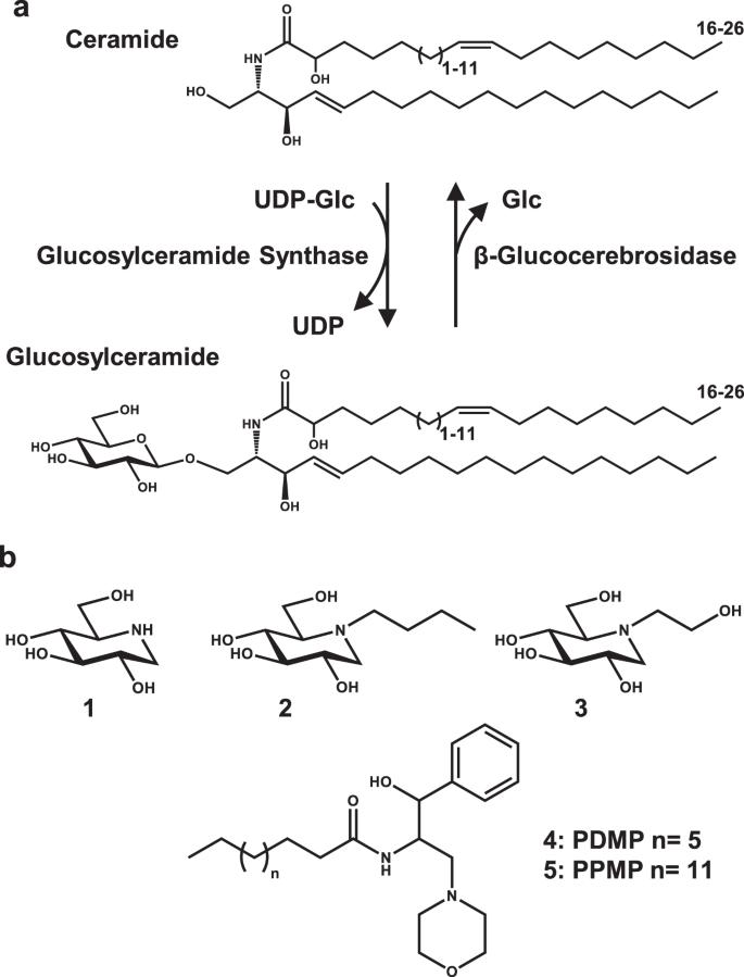 A chemical genetic screen reveals that iminosugar inhibitors