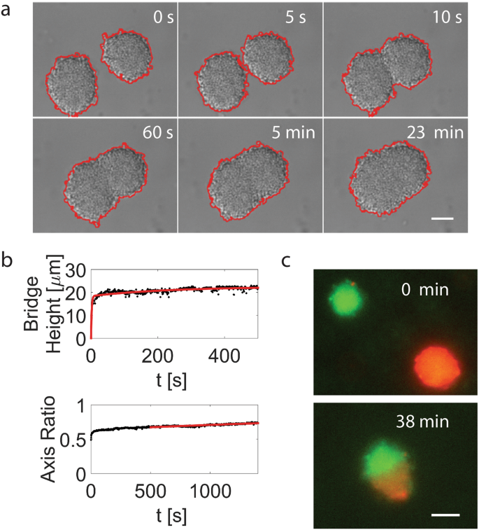 Pili mediated intercellular forces shape heterogeneous bacterial