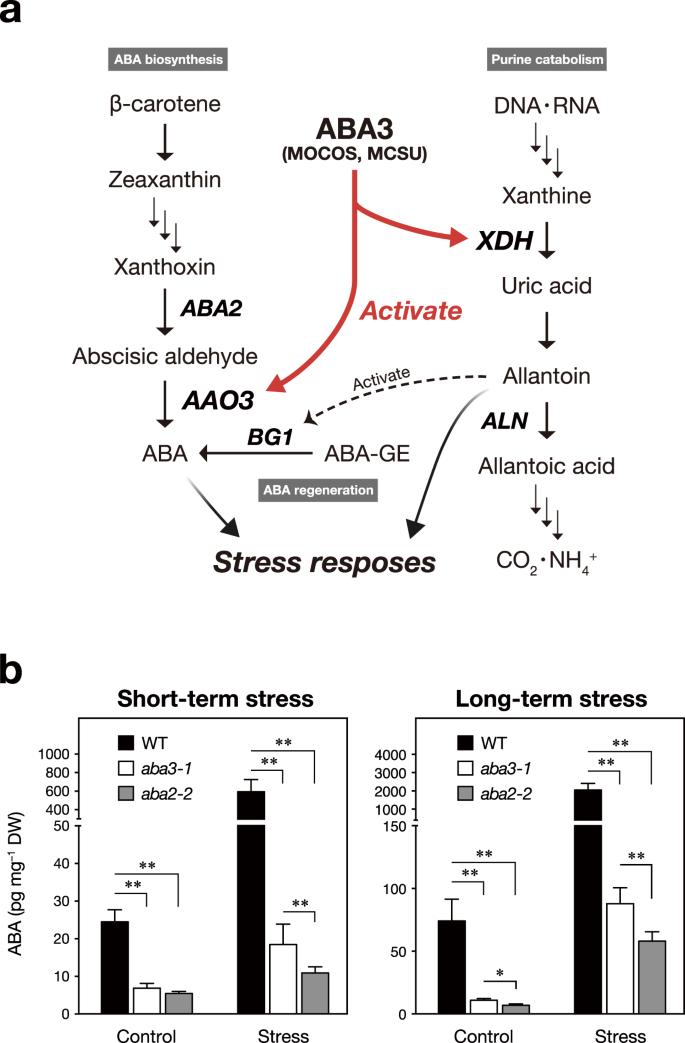 Arabidopsis molybdenum cofactor sulfurase ABA3 contributes to
