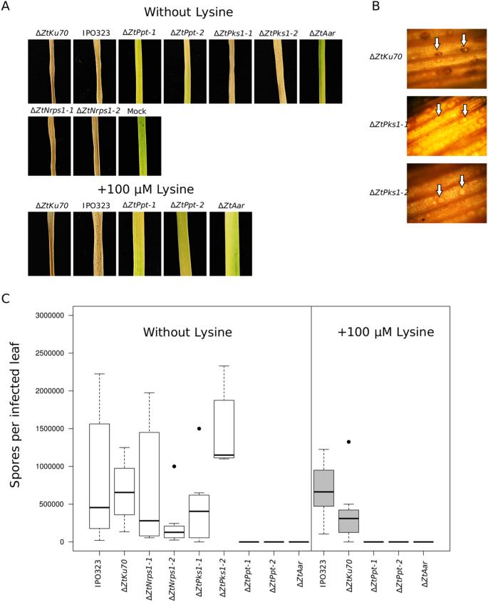 Phosphopantetheinyl transferase (Ppt)-mediated biosynthesis