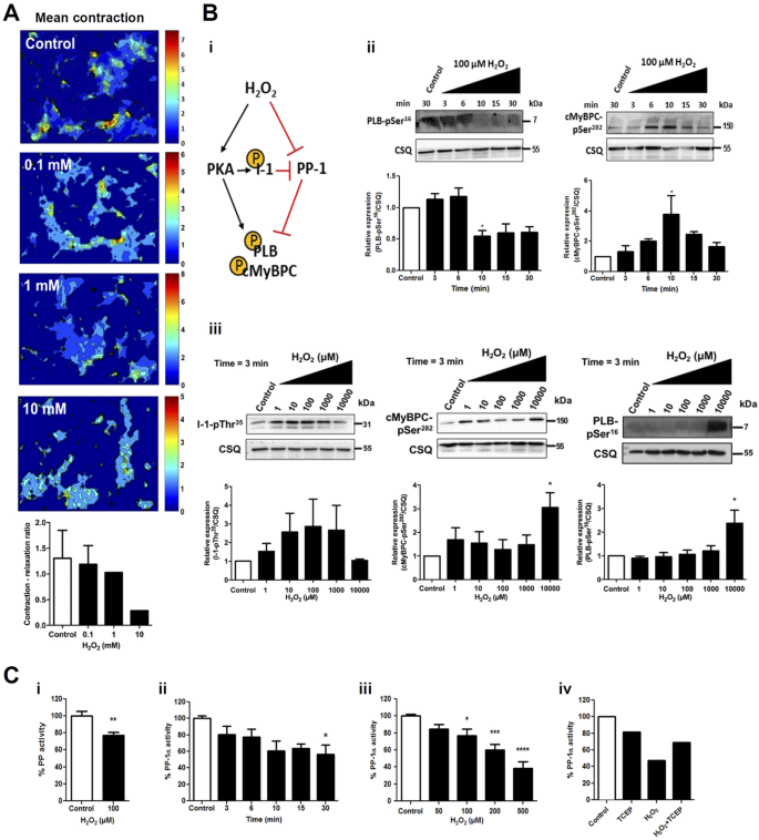 The reduced activity of PP-1α under redox stress condition is a
