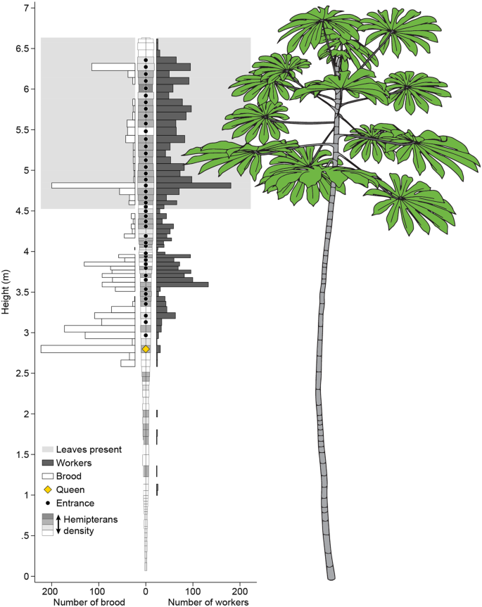 Ant-plant sociometry in the Azteca-Cecropia mutualism