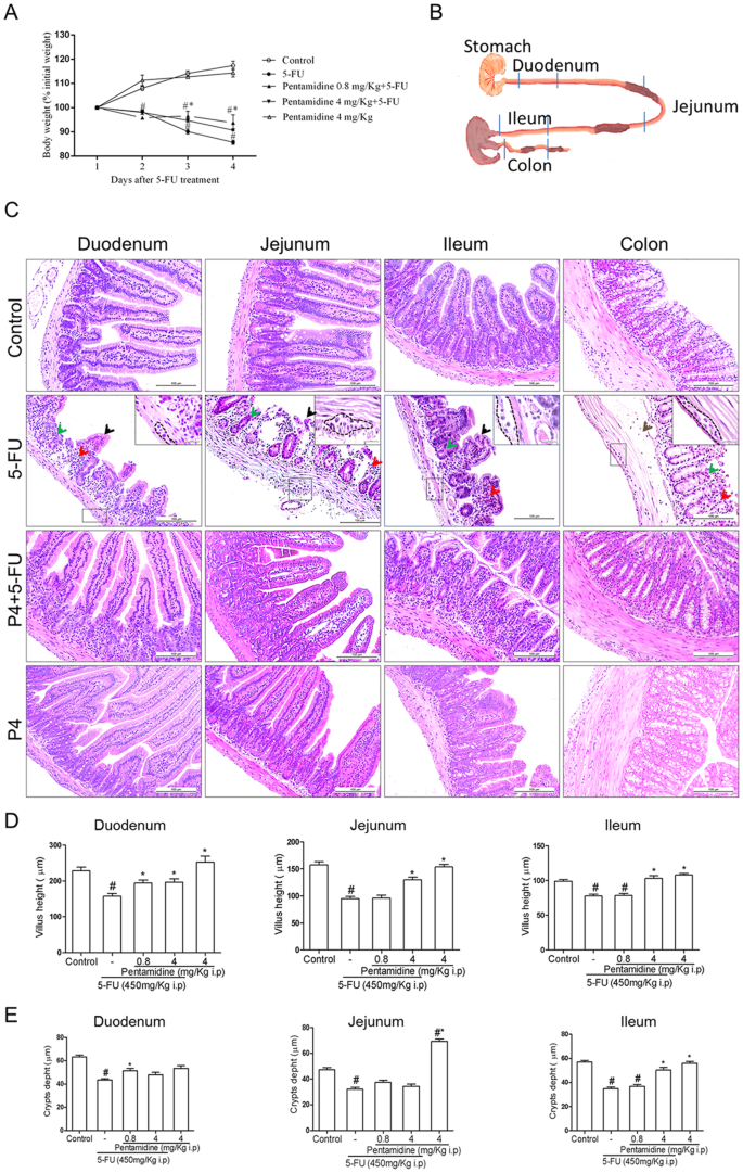 5-Fluorouracil Induces Enteric Neuron Death and Glial