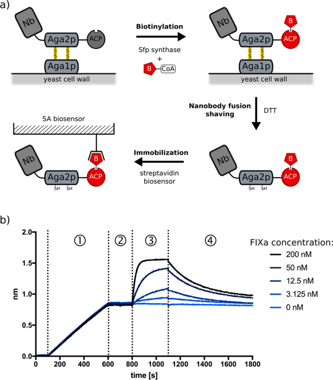 An improved yeast surface display platform for the screening of