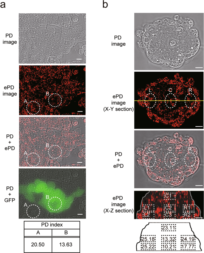 Live-cell imaging of subcellular structures for quantitative