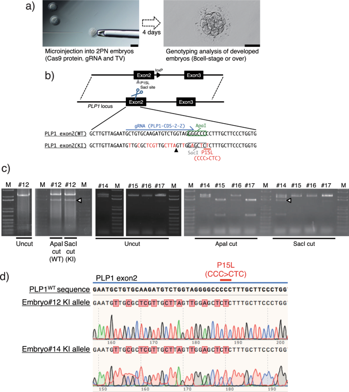 Robust and efficient knock-in in embryonic stem cells and early