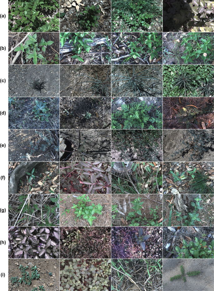 DeepWeeds: A Multiclass Weed Species Image Dataset for Deep Learning