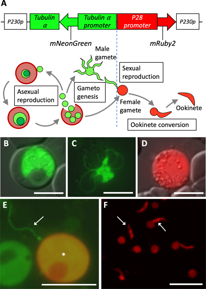 See-through observation of malaria parasite behaviors in the