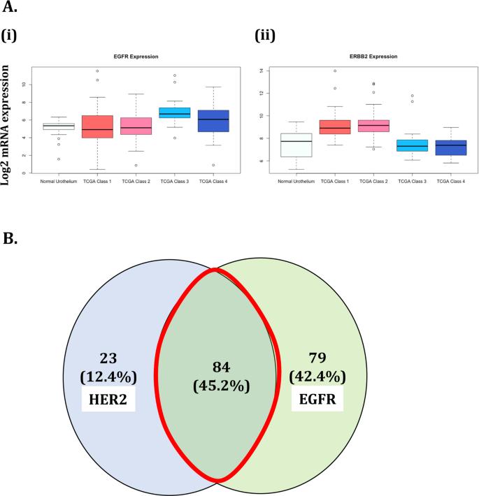 Targeting Epidermal Growth Factor Receptor (EGFR) and Human