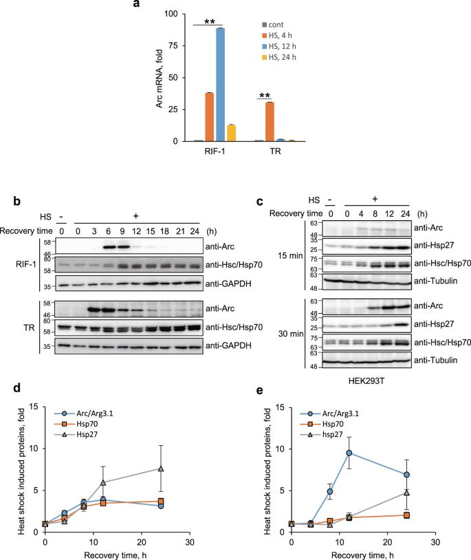 Activity-Regulated Cytoskeleton-Associated Protein (Arc/Arg3