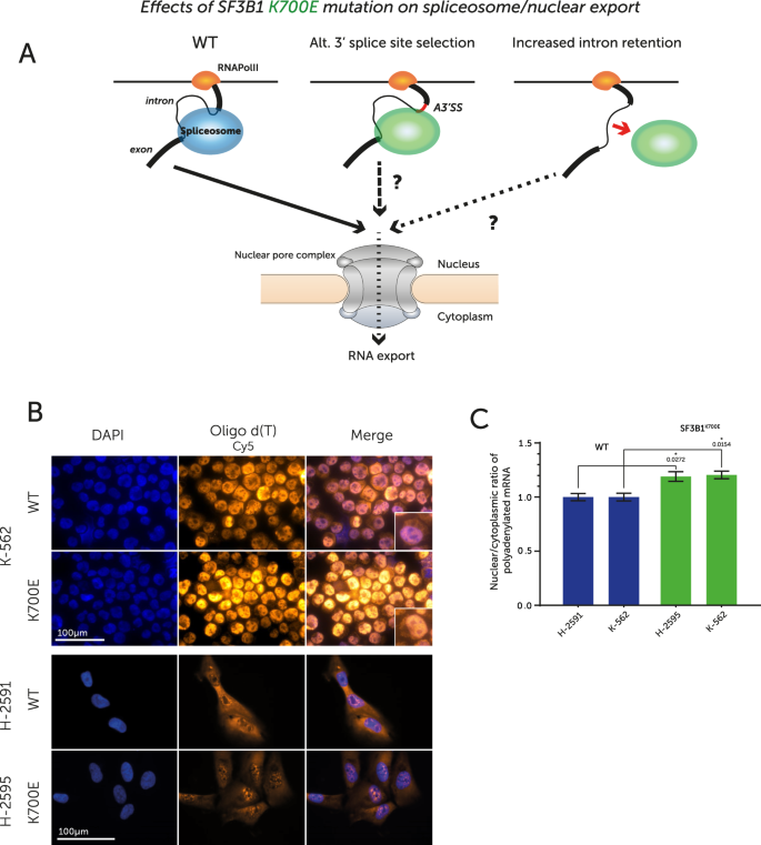Altered splicing and cytoplasmic levels of tRNA synthetases in SF3B1