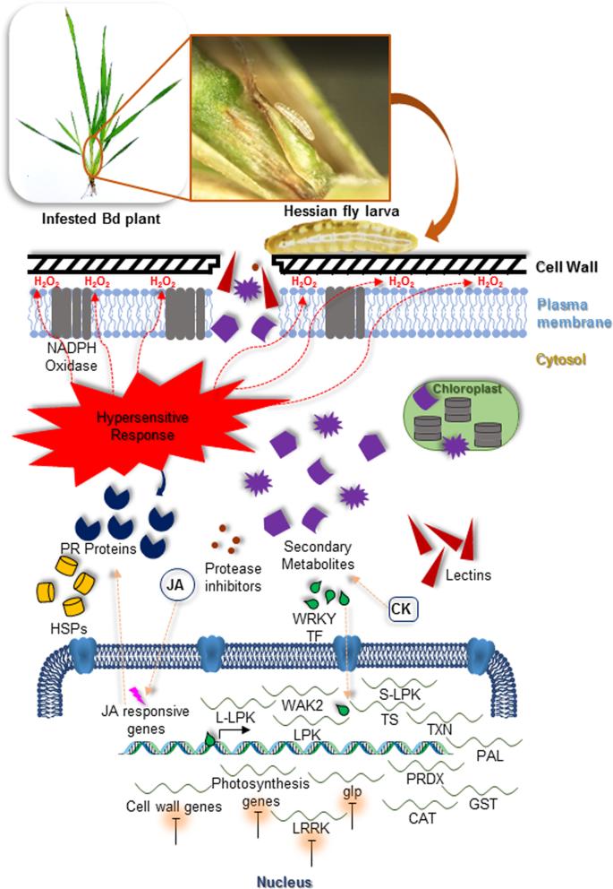 Multiple molecular defense strategies in Brachypodium