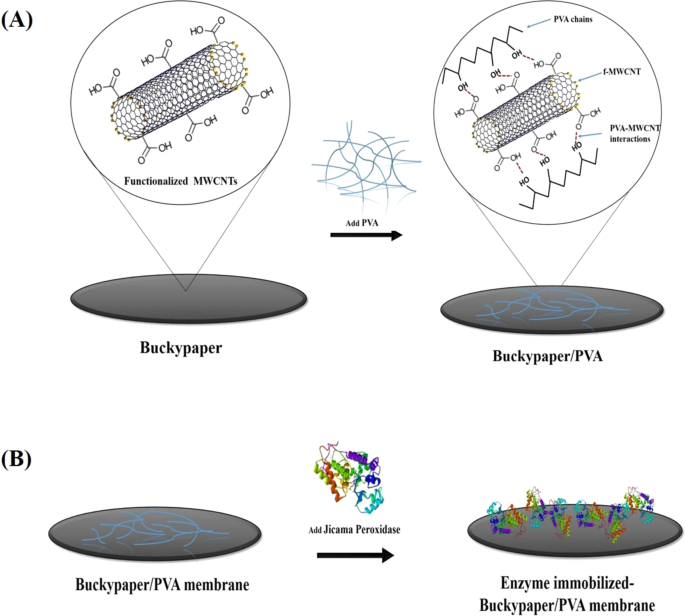 Immobilization of Peroxidase on Functionalized MWCNTs-Buckypaper/Polyvinyl  alcohol Nanocomposite Membrane   Scientific ReportsNature