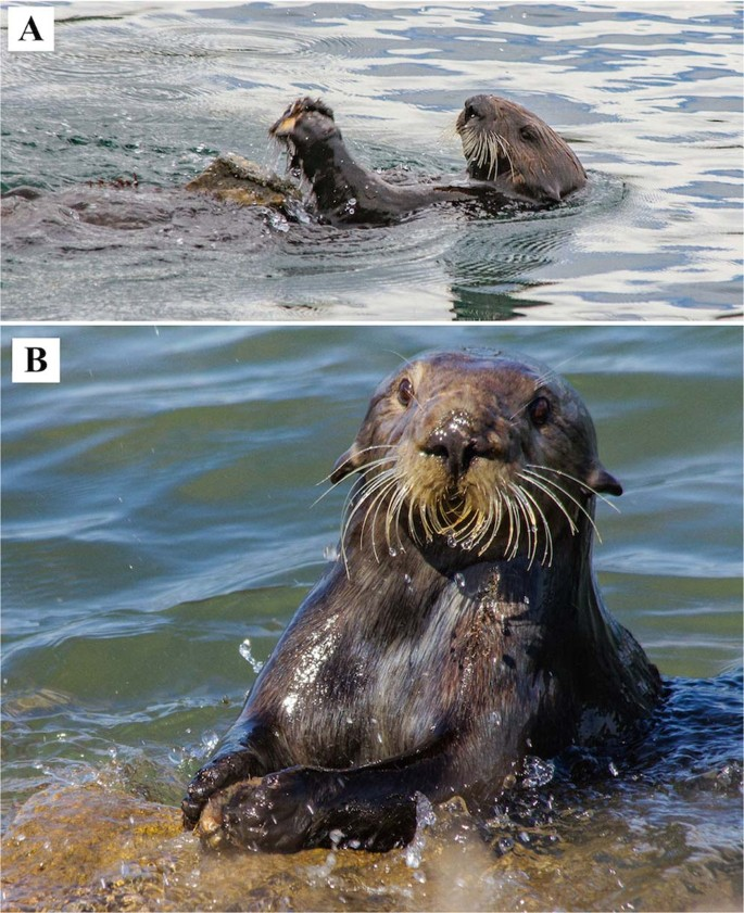 Wild sea otter mussel pounding leaves archaeological traces