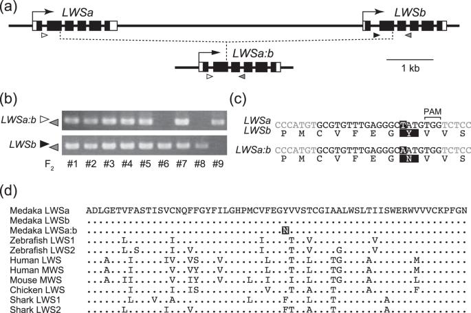 Evolutionary history of the medaka long-wavelength sensitive