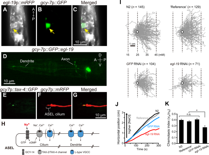 Active propagation of dendritic electrical signals in C   elegans