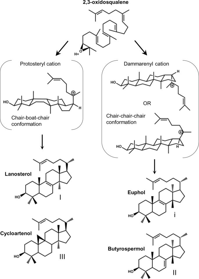 Distinct Triterpene Synthases In The Laticifers Of Euphorbia Lathyris Scientific Reports