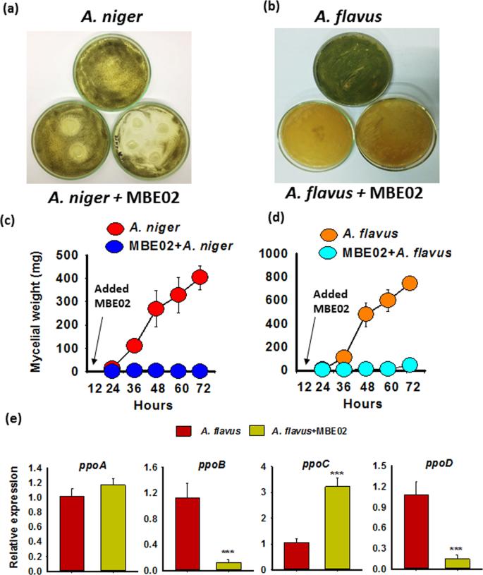 A halotolerant growth promoting rhizobacteria triggers