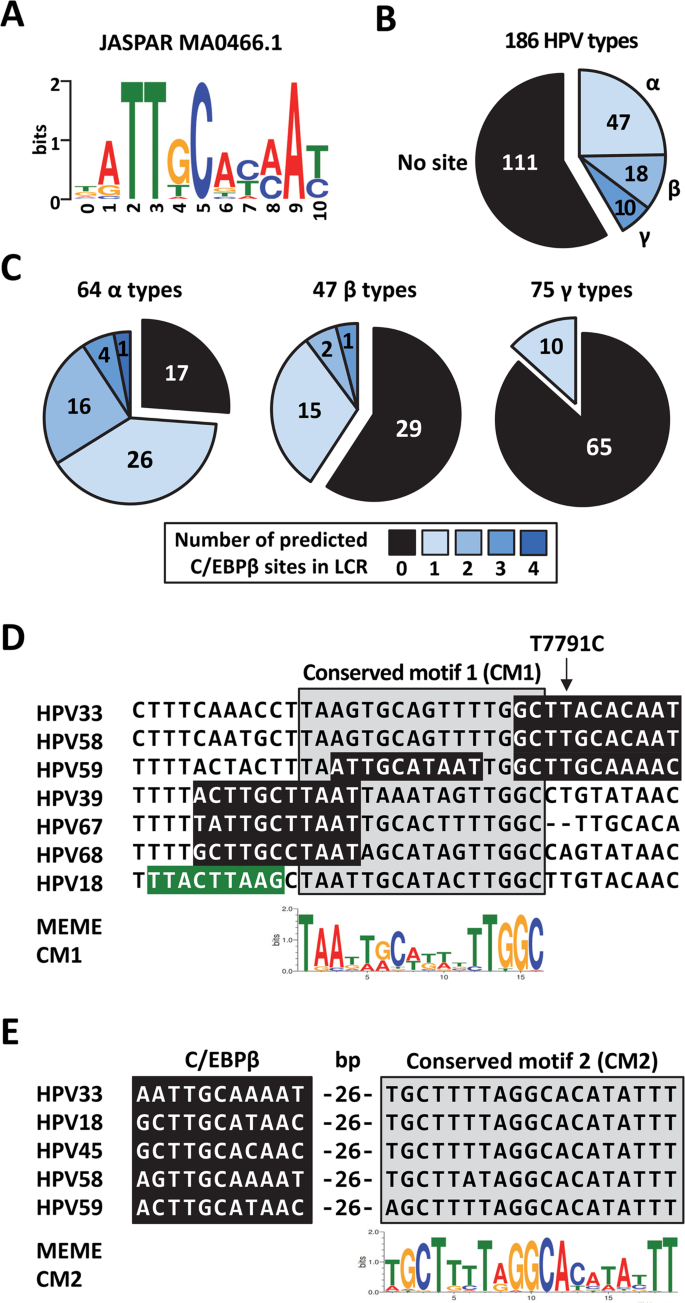 Characterization of an HPV33 natural variant with enhanced