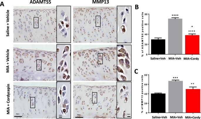 The polyadenylation inhibitor cordycepin reduces pain