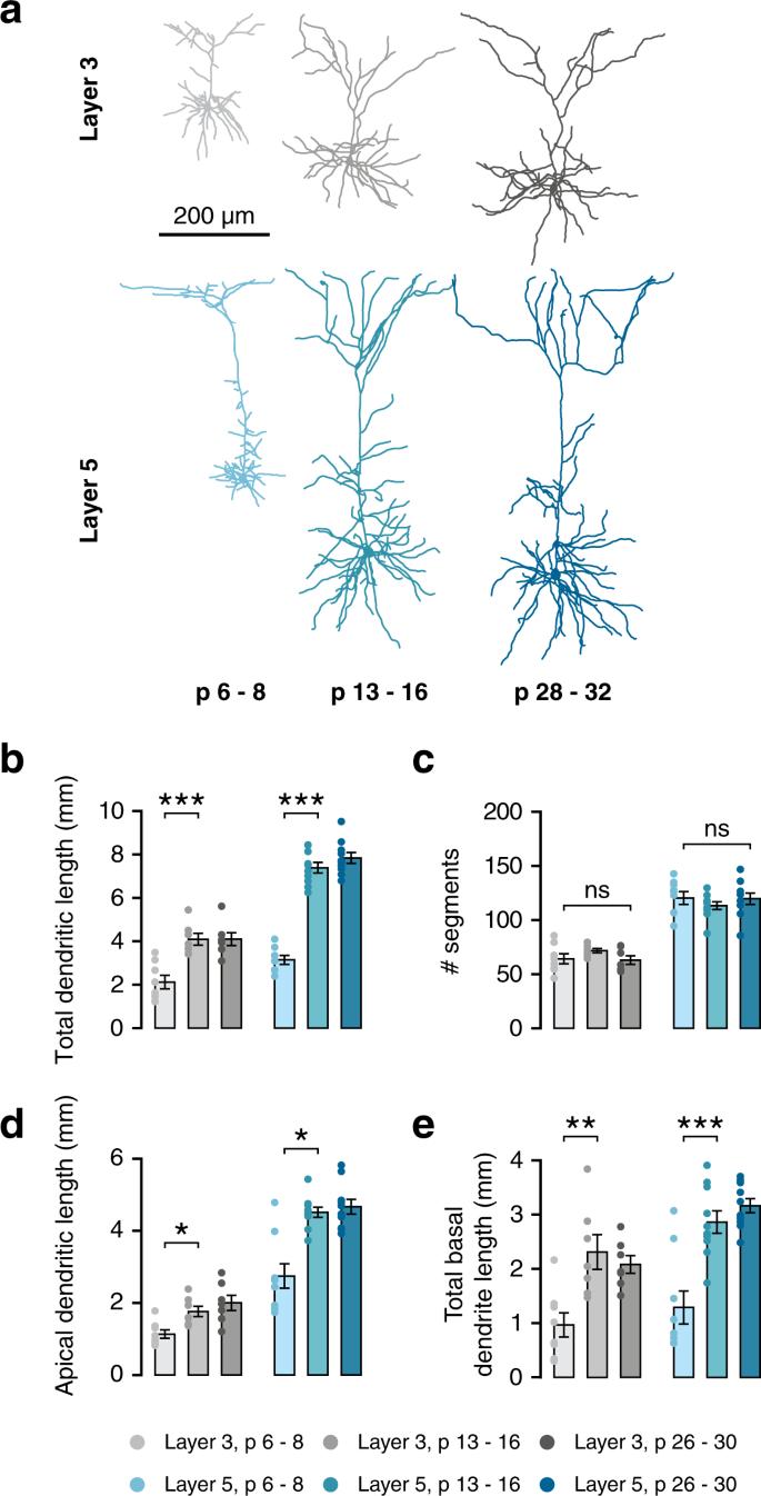 Early postnatal development of pyramidal neurons across layers of
