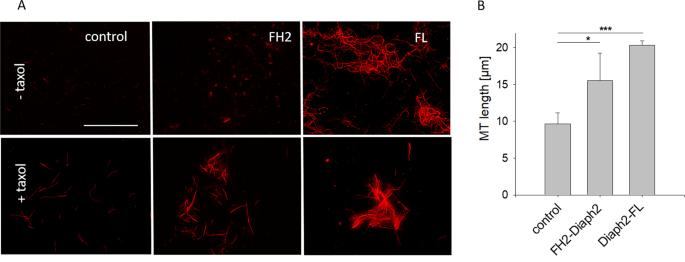 The formin Drosophila homologue of Diaphanous2 (Diaph2