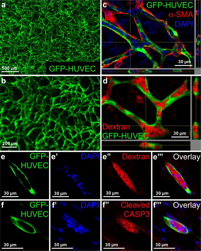 Formation of three-dimensional tubular endothelial cell