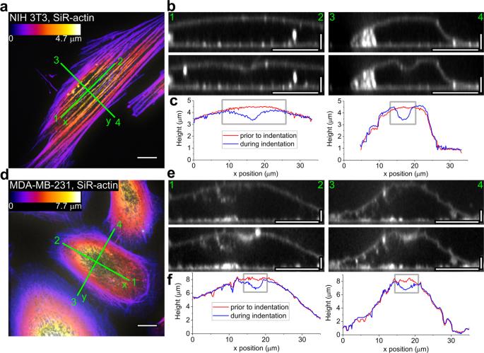Anisotropy vs isotropy in living cell indentation with AFM