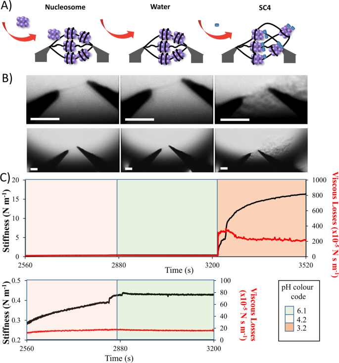 Direct measurement of the mechanical properties of a chromatin