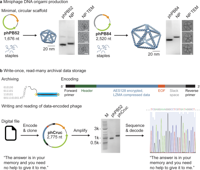 Bioproduction of pure, kilobase-scale single-stranded DNA